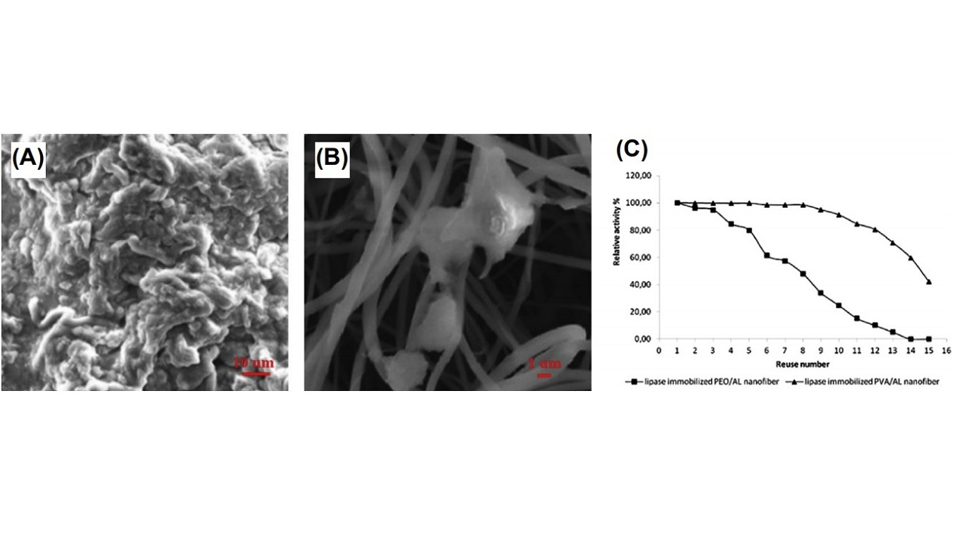 Scanning electron microscopy images of (A) PEO/alginate nanofibers immobilized with lipase and (B) PVA/alginate nanofibers immobilized with lipase. (C) The reusability of lipase-immobilized nanofibers. AL, alginate; PEO, polyethylene oxide; PVA, polyvinyl alcohol.