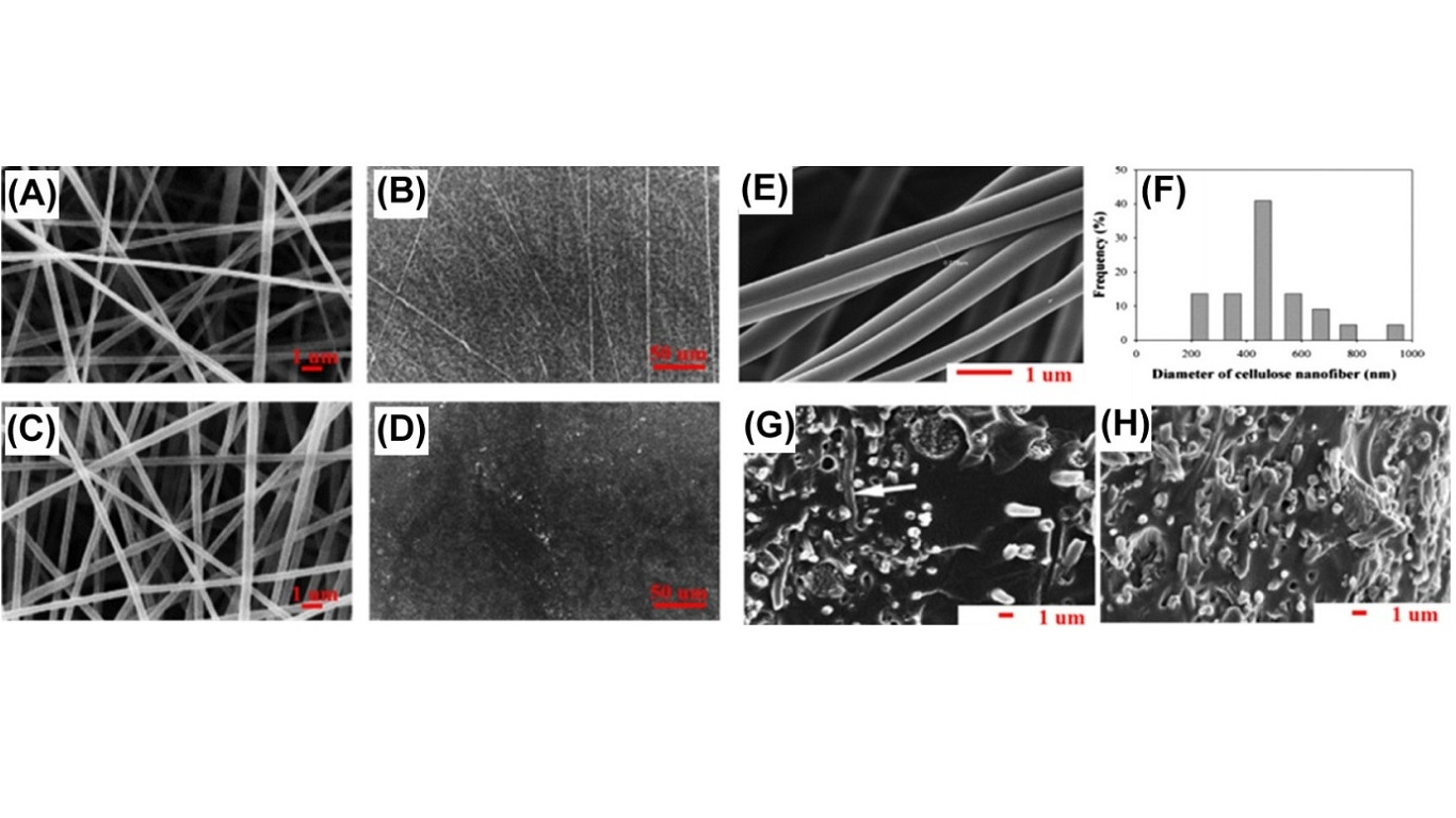Scanning electron microscopy (SEM) images of (A) neat electrospun CA fiber mats, (B) solvent-cast CA films, (C) 20% curcumin-loaded electrospun CA fiber mats, and (D) solvent-cast CA films containing 20% curcumin. (E) SEM image of cellulose nanofibers. (F) The diameter distribution of cellulose nanofibers. (G and H) SEM images of (G) the surface of a CNM/SPI composite film with 11% CNM where a few fibers flatly layered indicated with arrows and (H) the surface of a CNM/SPI composite film with 20% CNM. CA, cellulose acetate; CNM, cellulose nanofibrous mat; SPI, soy protein isolate.