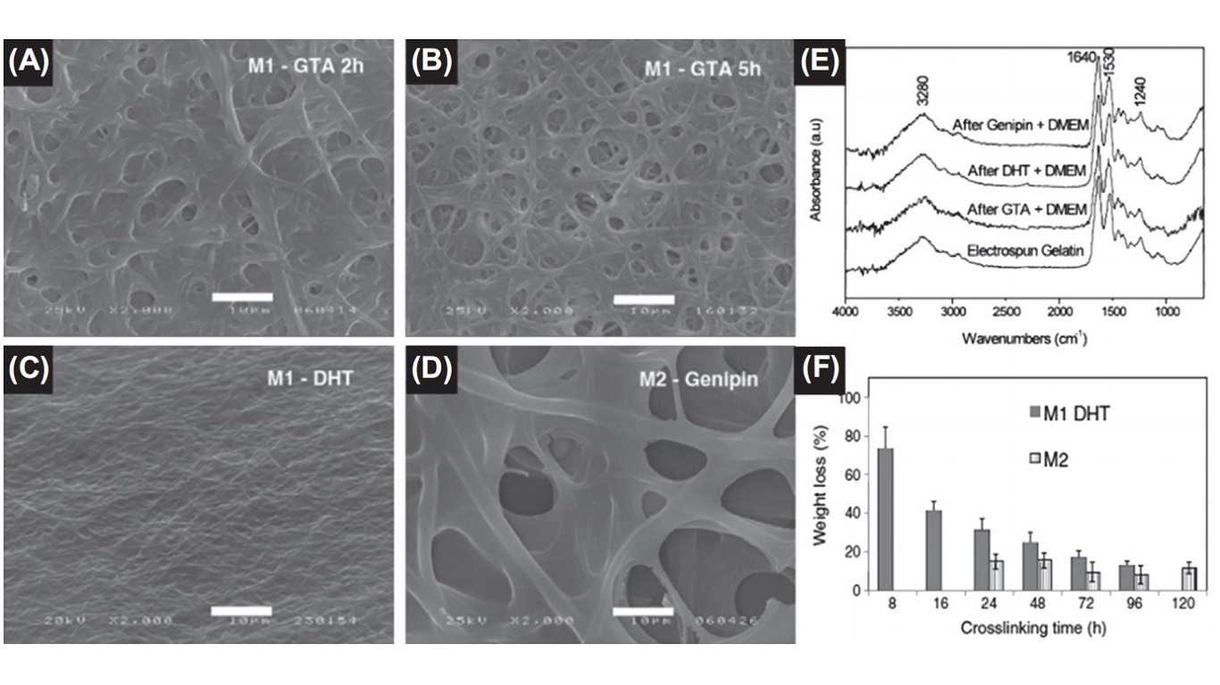 Scanning electron microscopy images of M1 crosslinked by (A) GTA for 2 h, (B) GTA for 5 h, and (C) DHT